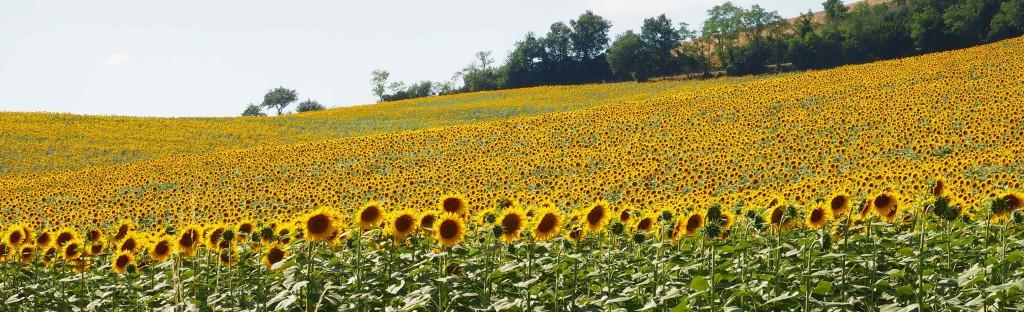 Lavaur et ses champs fleuris !